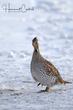 Sharp-tailed Grouse (01).jpg