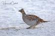 Sharp-tailed Grouse (female) (01).jpg