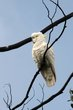 Sulphur-crested Cockatoo (01).jpg