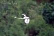 White-tailed Tropicbird (01).jpg