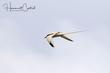 White-tailed Tropicbird (02).jpg