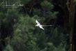 White-tailed Tropicbird (03).jpg