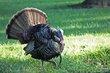 Wild Turkey (01).jpg