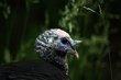 Wild Turkey (02).jpg