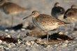 Willet (eastern nonbreeding plumage) (02).jpg