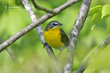Yellow-breasted Chat (02).jpg