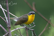 Yellow-breasted Chat (04).jpg