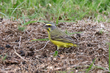 Yellow-fronted Canary (02).jpg