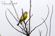 Yellow-fronted Canary (03).jpg