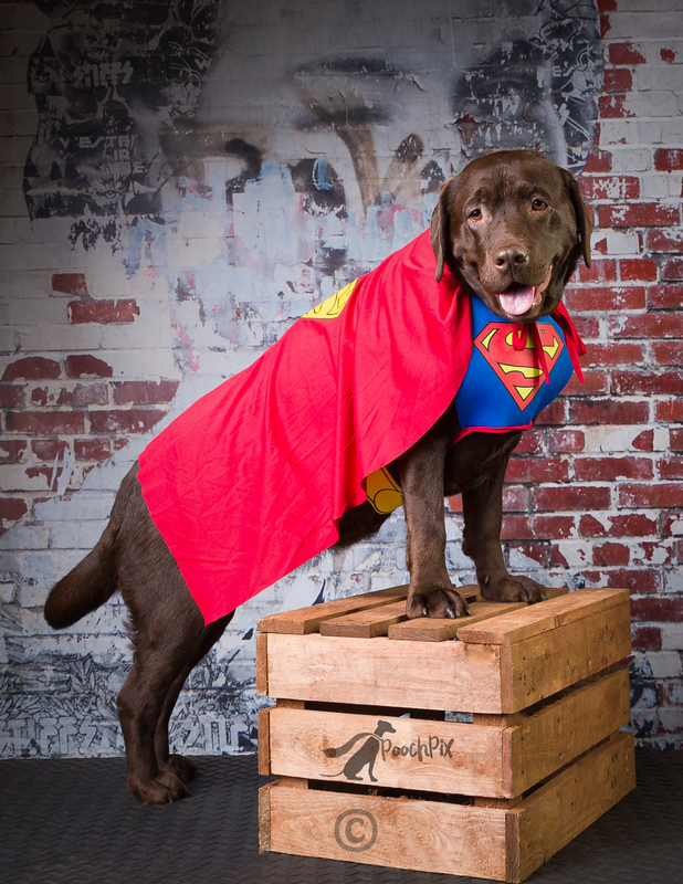 Beattie the super Lab(1).jpg