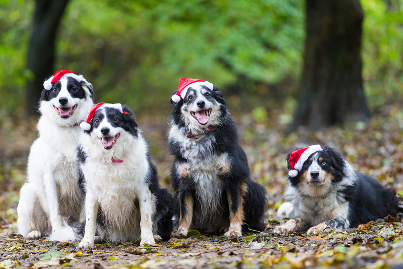 Border Collies Xmas.jpg