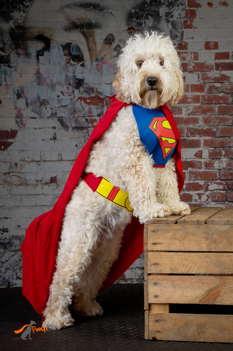 dolly the super doodle(1).jpg