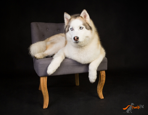 husky chilling on chair 2-31.jpg