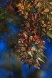 monarch-cluster.jpg