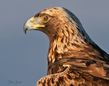 Golden Eagle Portrait.jpg