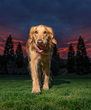 Golden Retriever at Sunset.jpg