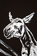 Sargent_Laurie__Donkey Series-3.jpg