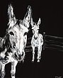 Sargent_Laurie__Donkey Series-4.jpg