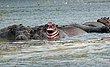 Baby Hippo Chobe Botswana.jpg