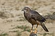 Bird of Prey Kgalagadi.jpg