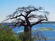 Boabab tree.jpg