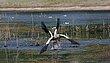 Egyptian geese Chobe Botswana.jpg