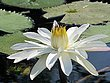 White water lily Namibia.jpg