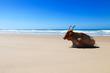 Nguni cattle 2.jpg