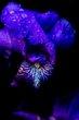 Eccles_Purple Iris3_blackened.jpg
