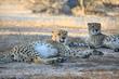 Chilling Cheetahs.jpg