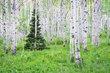 Summer Aspen.jpg
