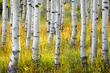 Aspen Forest2.jpg