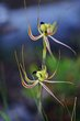 Fringed Mantis Spider Orchid Stirling Ranges.jpg