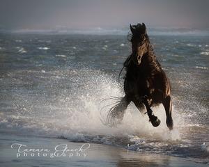 Friesian Horse galloping in the ocean