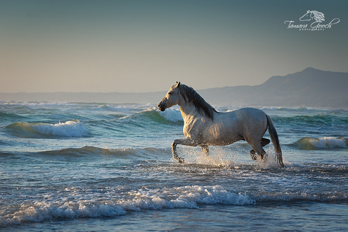 Andalusian Stallion horse in the ocean