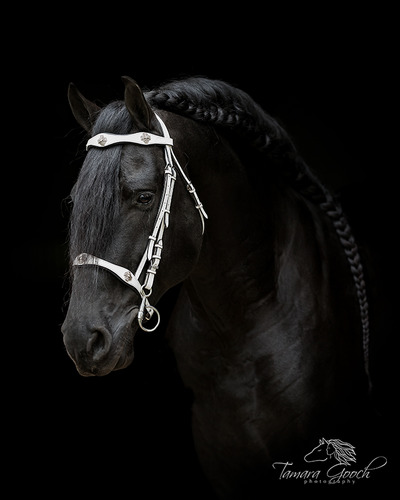 Friesian horse with baroque bridle