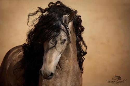 Gambler-Andalusian-Stallion-ARP_2047-2.jpg