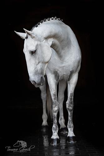 Grey-Lusitano-Horse-Portrait-BFOW_6626.jpg
