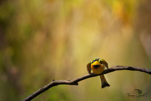 Little-Bee-Eater-Bird-Photo-ATS_0493.jpg
