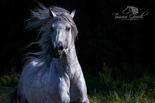 Andalusian Horse at liberty