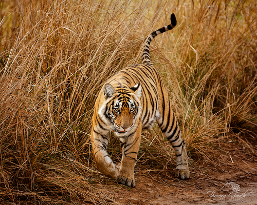 Tiger-in-India-Photo-PW_9634.jpg