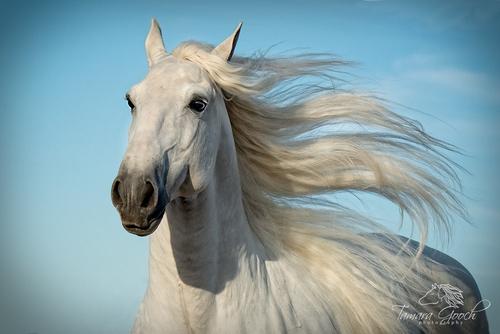 White-Andalusian-Stallion-Photo_DSC0154.jpg