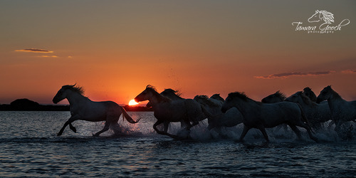 White-Horses-of-the-Camargue-at-Sunset-Photo-FPW_8978.jpg