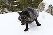 Black Fox 1.jpg