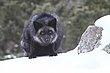 Black Fox 2.jpg
