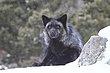 Black Fox 3.jpg