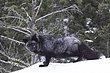 Black Fox.jpg