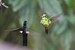 Buff-winged Starfrontler and Golden Breasted Puffleg.jpg