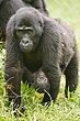 Bwindi Forest Uganda 2.jpg