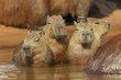 Capybara family 1.jpg